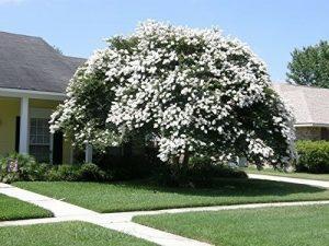 Arbusto di Mirto bianco